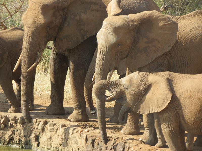 trinkende Elefanten