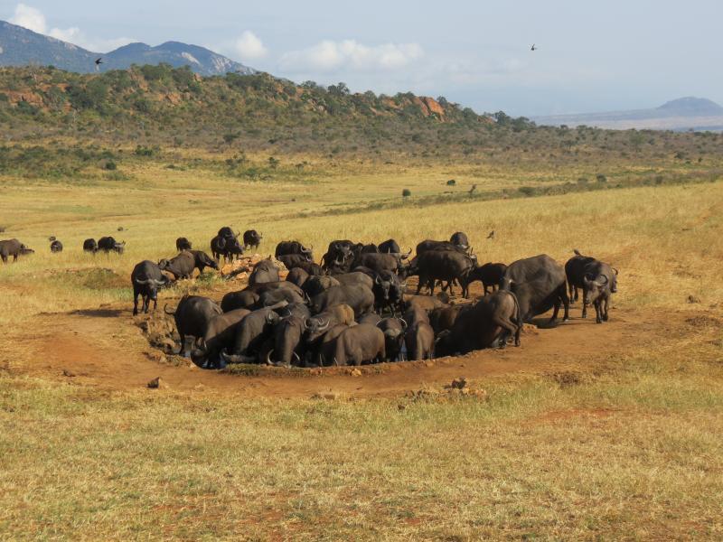 Wasserloch mit Büffeln